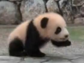 双胞胎熊猫在日本广受欢迎 网友会问:熊猫为什么会在国外