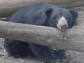 树懒熊因伴侣去世身体越来越差 动物园只好将其安乐死