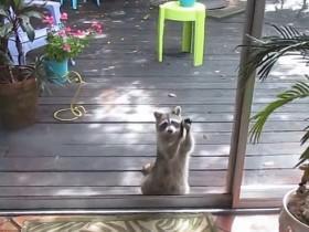 浣熊因为没有猫粮可偷 拿一块石头在玻璃窗上抗议
