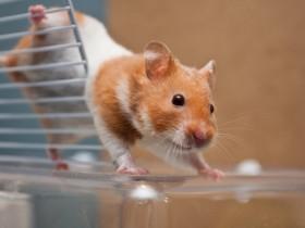 猫咪看着主人刚买的小仓鼠舔了舔舌头,然后做出这个动作