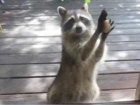 一只小浣熊不幸卡在下水道 泪眼汪汪求解救