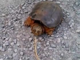 一只不好惹的乌龟