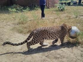印度猎豹喝水时脑袋卡进金属罐 村民积极帮忙
