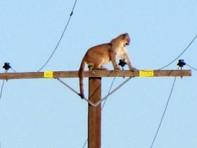 美洲狮被校车的鸣笛吓到后 爬上了10米高的电线杆