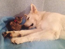 """波兰网友捡到一只小猫咪 家里的狗狗终于当上""""干爹"""""""