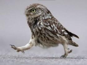 一只猫头鹰见到客人害羞的模样 真的是超级可爱!