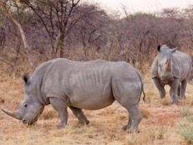 """为了保护野生犀牛,这家国家公园的保安被允许""""射杀可疑人士"""""""