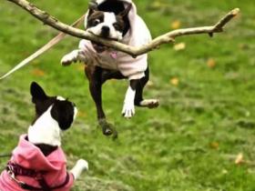20张狗狗叼树枝的搞笑照片 让主人笑到肚子疼