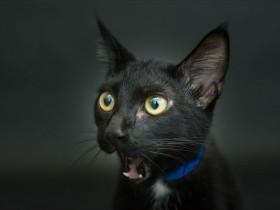大多数美国人不喜欢黑猫 动物救助站里的黑猫面临安乐死