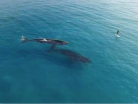 男子在与两条鲸鱼近距离接触