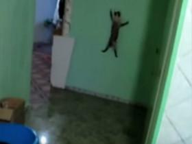 """进化成""""蜘蛛""""的喵星人 在墙上非常利落地爬行"""