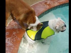 即使穿上了救生衣 斗牛犬也不让兄弟下水