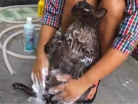 胖猫享受主人给它洗澡和按摩