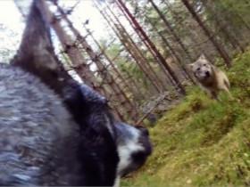 一只狗VS一群狼