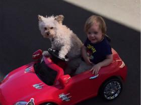 """一只会开""""车""""的狗狗"""