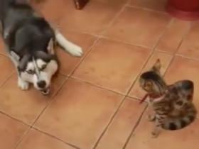 哈士奇讨好一只猫咪