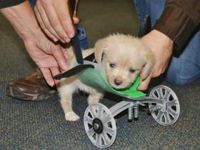 给只有两条腿的小狗装上轮椅