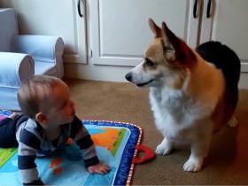 柯基犬强吻小主人