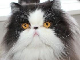 猫咪以为主人踩掉了自己的尾巴 躲在一个角落很伤心