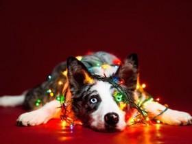 宠物摄影 圣诞节前夕的狗狗 绚丽而又多彩