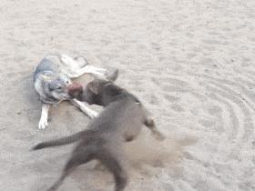 狗狗的拔河比赛 笑得肚子疼