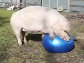 看猪猪如何玩瑜伽球