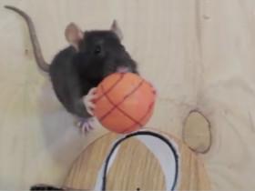 姑娘训练老鼠有自己的独到之处
