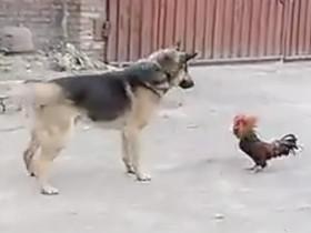 公鸡中的战斗机