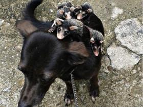 狗狗背着失去妈妈的负鼠宝宝出去玩耍
