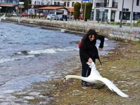 女子为了私欲抓天鹅玩自拍 最后导致天鹅不幸死亡