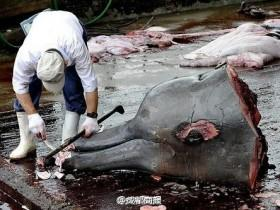 日本捕鲸船捕333头鲸 大部分是怀孕雌鲸