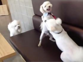 看狗狗是如何劝架的