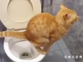 别人家的猫咪会使用马桶方便