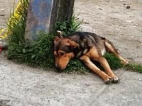 主人散步的时候被车撞死了 狗狗趴在地上不相信发生的