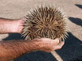 """这种你可能没见过的动物 它们叫""""针鼹""""或""""刺食蚁兽"""""""