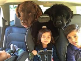 夫妻养了两条体型硕大的纽芬兰犬 它们很好地成为孩子们的保姆