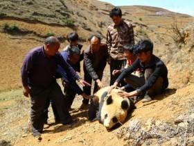 野生大熊猫闯进四川的一个村子里 村民围成人墙保护起来