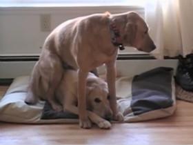 拉布拉多犬视频大合集(1)