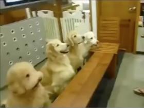 狗狗饭前会做祷告还会收拾餐具