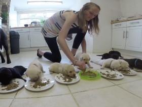 如何给一堆刚出生的拉布拉多犬喂食