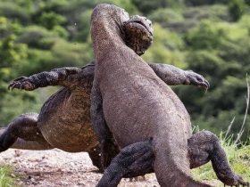 偷拍两只科莫多巨蜥在打架 摄影师都忍不住笑了
