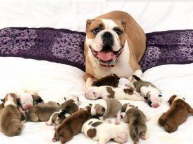 狗妈妈一胎生下14只狗宝宝后 满脸骄傲的表情