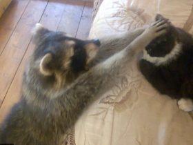 浣熊跑到居民家中想和小猫做朋友 可能是不想再单下去