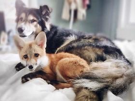 狐狸与狗狗成为了好朋友 它们之间的友谊让人都羡慕