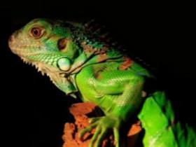 绿鬣蜥身体的各个组成部分 怎么区分绿鬣蜥的性别