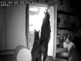 两只扫货一只望风:三只猫咪分工开冰箱偷小鱼干