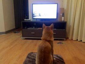 逆天宠物狗沉溺于看电视 模仿主人端坐观看