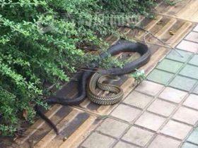 青岛女子上班路上遇到三米长大蛇 疑是宠物蛇走丢