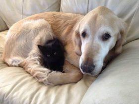 金毛失去了陪伴自己多年的猫朋友 主人想方法让它不再伤心