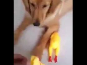 金毛把玩具鸡的头咬下来后